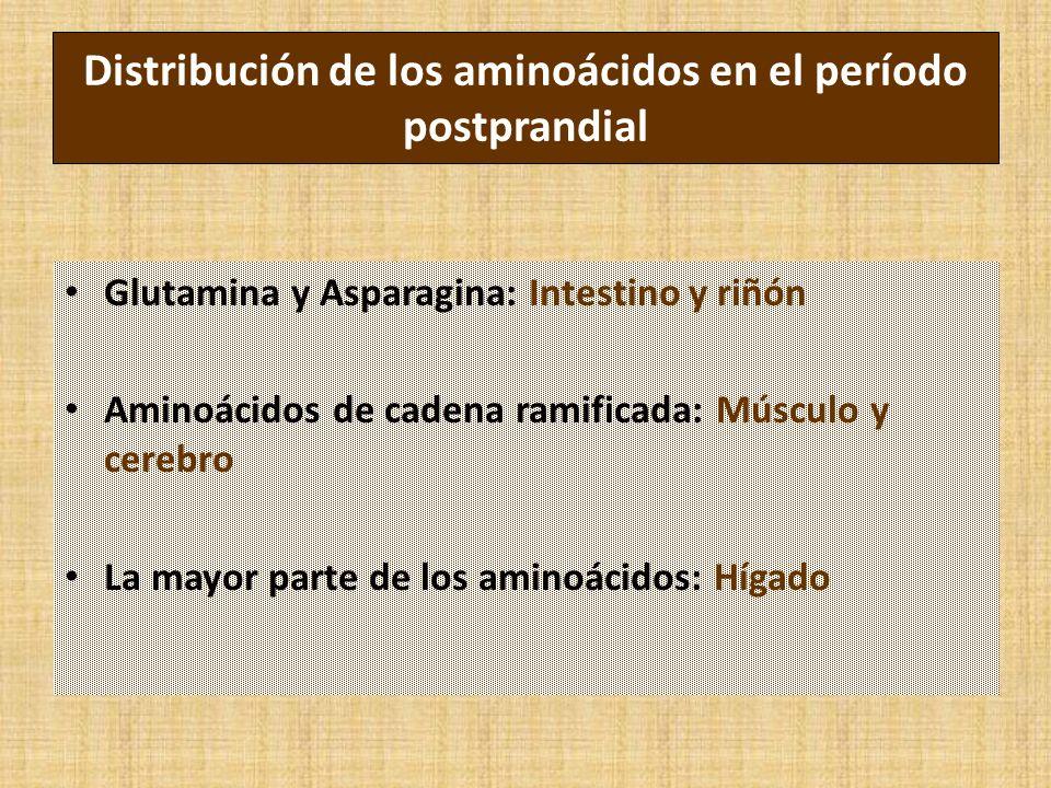 Distribución de los aminoácidos en el período postprandial Glutamina y Asparagina: Intestino y riñón Aminoácidos de cadena ramificada: Músculo y cerebro La mayor parte de los aminoácidos: Hígado