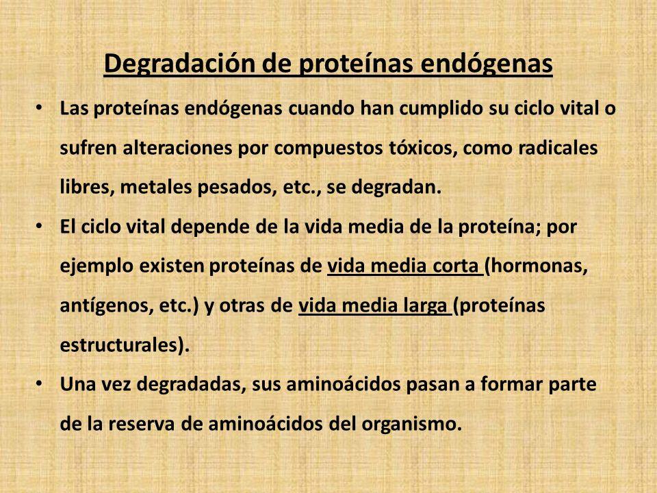 Degradación de proteínas endógenas Las proteínas endógenas cuando han cumplido su ciclo vital o sufren alteraciones por compuestos tóxicos, como radicales libres, metales pesados, etc., se degradan.