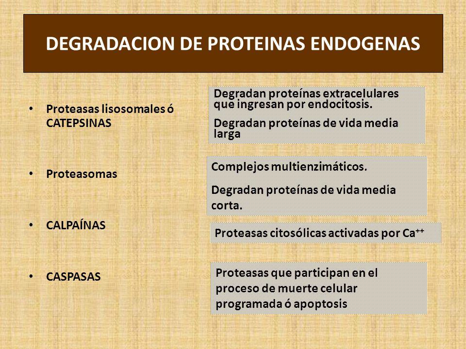 DEGRADACION DE PROTEINAS ENDOGENAS Proteasas lisosomales ó CATEPSINAS Proteasomas CALPAÍNAS CASPASAS Degradan proteínas extracelulares que ingresan por endocitosis.