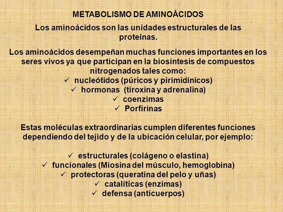 METABOLISMO DE AMINOÁCIDOS Los aminoácidos desempeñan muchas funciones importantes en los seres vivos ya que participan en la biosíntesis de compuestos nitrogenados tales como: nucleótidos (púricos y pirimidínicos) hormonas (tiroxina y adrenalina) coenzimas Porfirinas Estas moléculas extraordinarias cumplen diferentes funciones dependiendo del tejido y de la ubicación celular, por ejemplo: estructurales (colágeno o elastina) funcionales (Miosina del músculo, hemoglobina) protectoras (queratina del pelo y uñas) catalíticas (enzimas) defensa (anticuerpos) Los aminoácidos son las unidades estructurales de las proteínas.