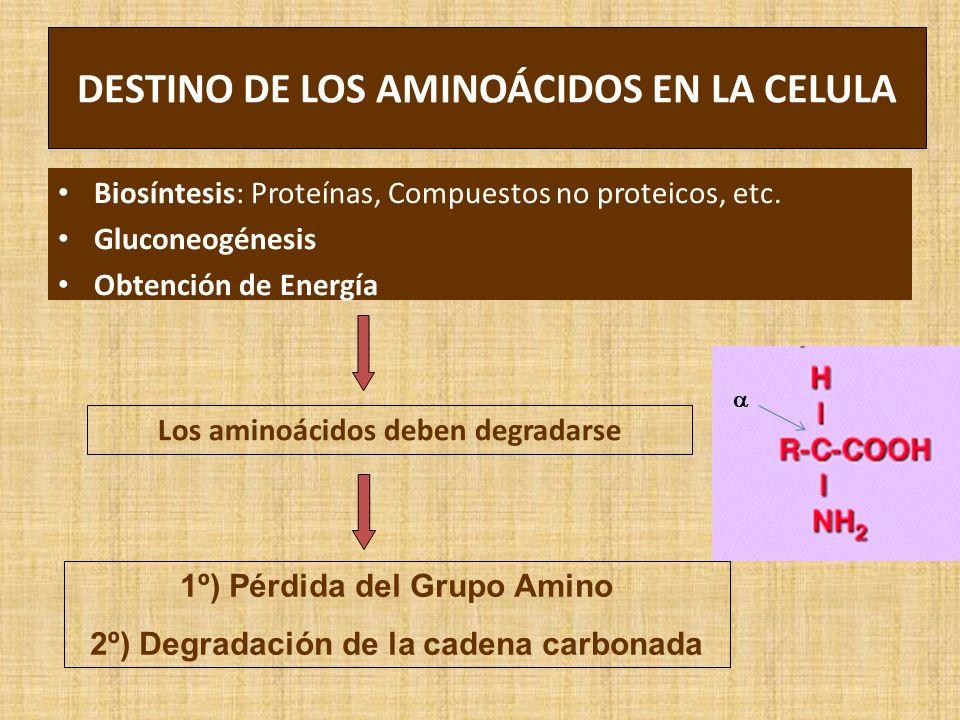 DESTINO DE LOS AMINOÁCIDOS EN LA CELULA Biosíntesis: Proteínas, Compuestos no proteicos, etc. Gluconeogénesis Obtención de Energía Los aminoácidos deb