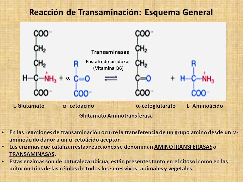 Reacción de Transaminación: Esquema General L-Glutamato - cetoácido -cetoglutarato L- Aminoácido En las reacciones de transaminación ocurre la transferencia de un grupo amino desde un - aminoácido dador a un -cetoácido aceptor.