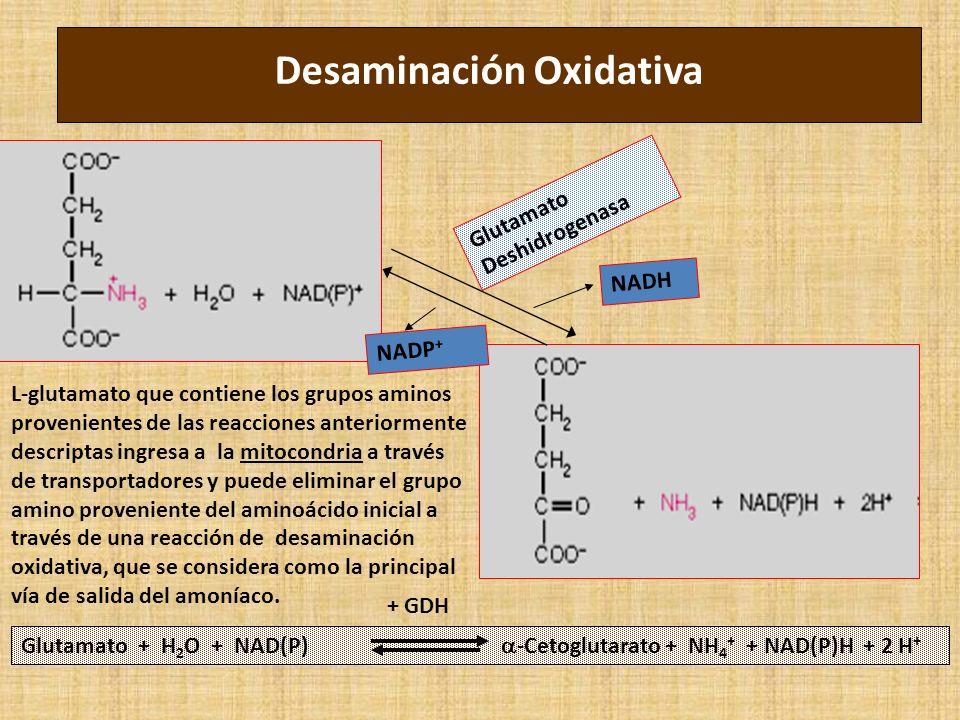 Desaminación Oxidativa Glutamato + H 2 O + NAD(P) -Cetoglutarato + NH 4 + + NAD(P)H + 2 H + Glutamato Deshidrogenasa NADH NADP + + GDH L-glutamato que contiene los grupos aminos provenientes de las reacciones anteriormente descriptas ingresa a la mitocondria a través de transportadores y puede eliminar el grupo amino proveniente del aminoácido inicial a través de una reacción de desaminación oxidativa, que se considera como la principal vía de salida del amoníaco.