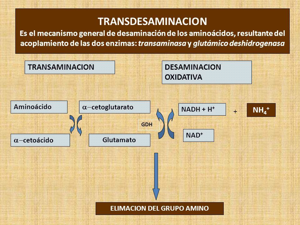 GDH TRANSDESAMINACION Es el mecanismo general de desaminación de los aminoácidos, resultante del acoplamiento de las dos enzimas: transaminasa y glutámico deshidrogenasa TRANSAMINACIONDESAMINACION OXIDATIVA ELIMACION DEL GRUPO AMINO Aminoácido cetoglutarato Glutamato cetoácido NADH + H + NAD + NH 4 + +