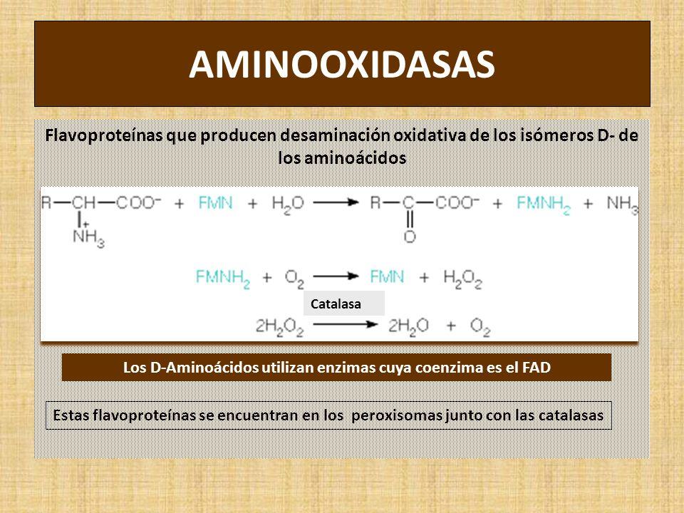 AMINOOXIDASAS Flavoproteínas que producen desaminación oxidativa de los isómeros D- de los aminoácidos Estas flavoproteínas se encuentran en los peroxisomas junto con las catalasas Los D-Aminoácidos utilizan enzimas cuya coenzima es el FAD Catalasa