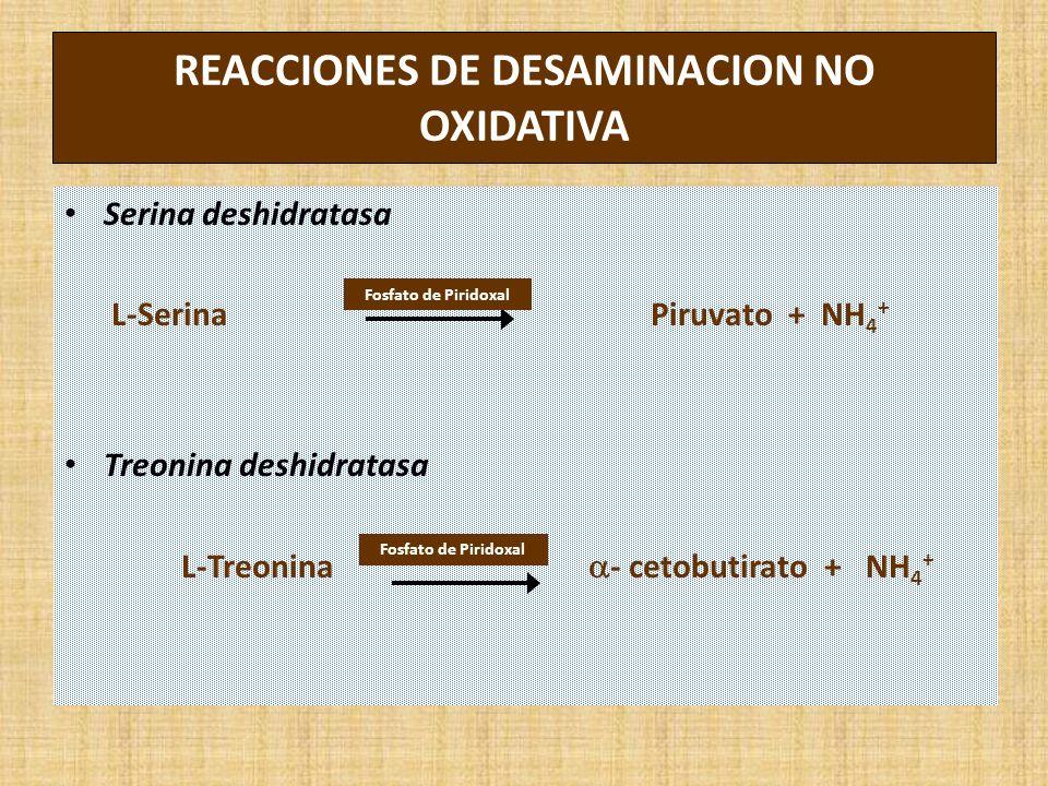 REACCIONES DE DESAMINACION NO OXIDATIVA Serina deshidratasa L-Serina Piruvato + NH 4 + Treonina deshidratasa L-Treonina - cetobutirato + NH 4 + Fosfato de Piridoxal