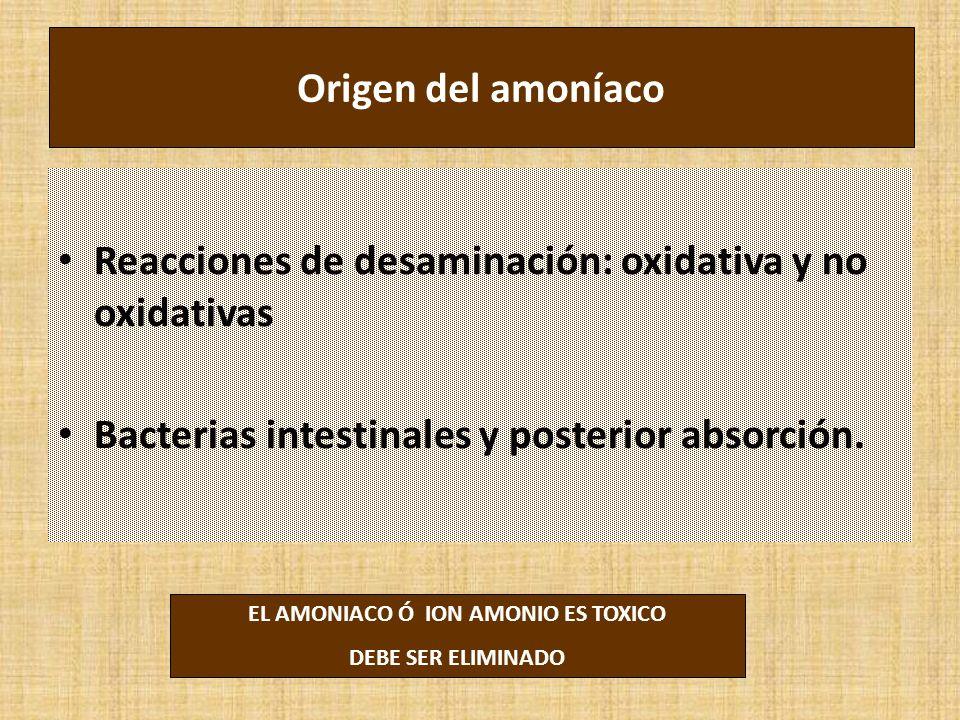 Origen del amoníaco Reacciones de desaminación: oxidativa y no oxidativas Bacterias intestinales y posterior absorción. EL AMONIACO Ó ION AMONIO ES TO