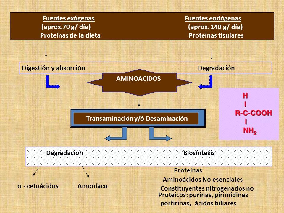 Fuentes exógenas Fuentes endógenas (aprox.70 g/ día) (aprox. 140 g/ día) Proteínas de la dieta Proteínas tisulares Digestión y absorción Degradación A