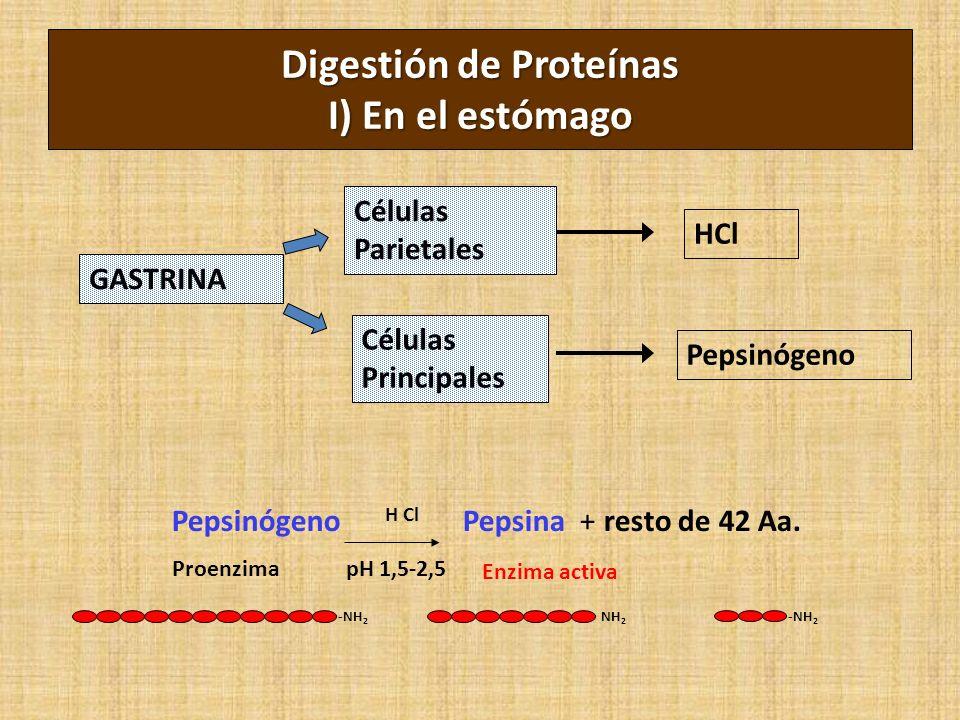 -NH 2 NH 2 -NH 2 Pepsinógeno H Cl Pepsina + resto de 42 Aa. Digestión de Proteínas I) En el estómago Proenzima Enzima activa pH 1,5-2,5 GASTRINA Célul