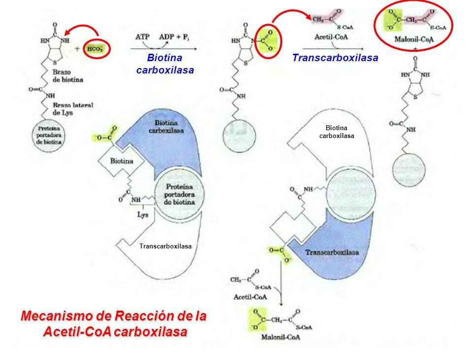 Transcarboxilasa Biotina carboxilasa Biotina carboxilasa Mecanismo de Reacción de la Acetil-CoA carboxilasa Transcarboxilasa