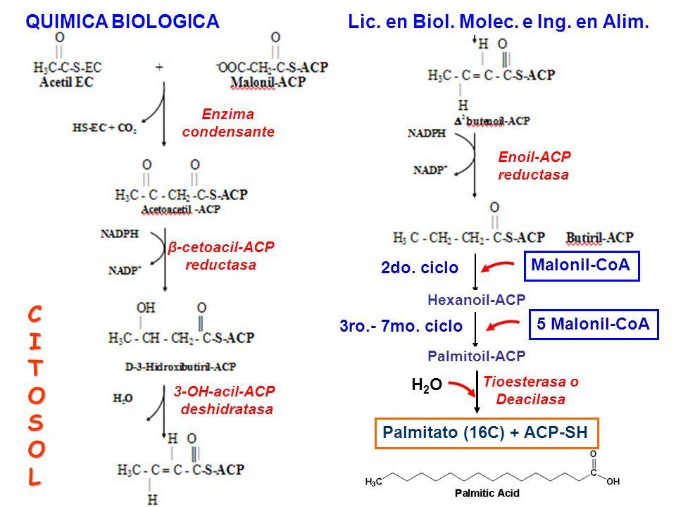 Enzima condensante β-cetoacil-ACP reductasa 3-OH-acil-ACP deshidratasa Enoil-ACP reductasa Hexanoil-ACP Malonil-CoA 2do. ciclo Palmitoil-ACP 5 Malonil