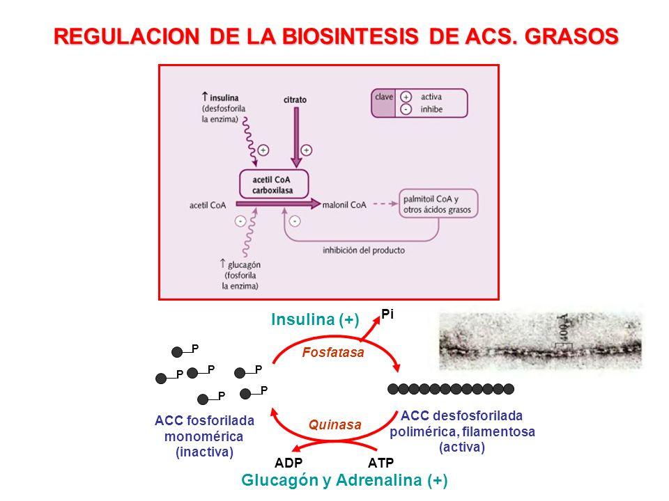 REGULACION DE LA BIOSINTESIS DE ACS. GRASOS P P P P P P ACC fosforilada monomérica (inactiva) ACC desfosforilada polimérica, filamentosa (activa) Quin