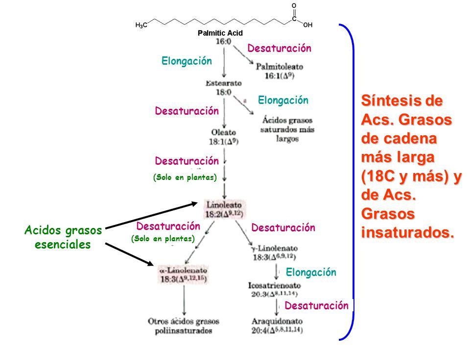Síntesis de Acs. Grasos de cadena más larga (18C y más) y de Acs. Grasos insaturados. Desaturación Elongación (Solo en plantas) Acidos grasos esencial