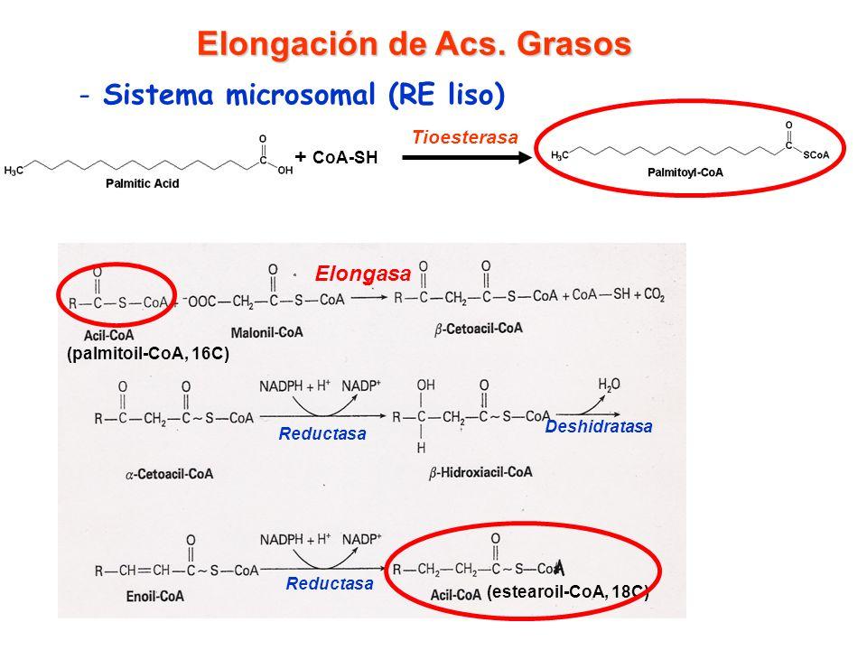 (palmitoil-CoA, 16C) (estearoil-CoA, 18C) Elongación de Acs. Grasos - Sistema microsomal (RE liso) Elongasa Reductasa Deshidratasa Palmitato + CoA-SH