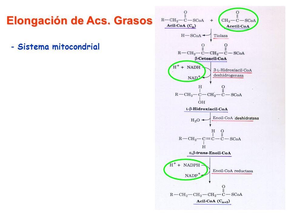 deshidratasa Elongación de Acs. Grasos - Sistema mitocondrial