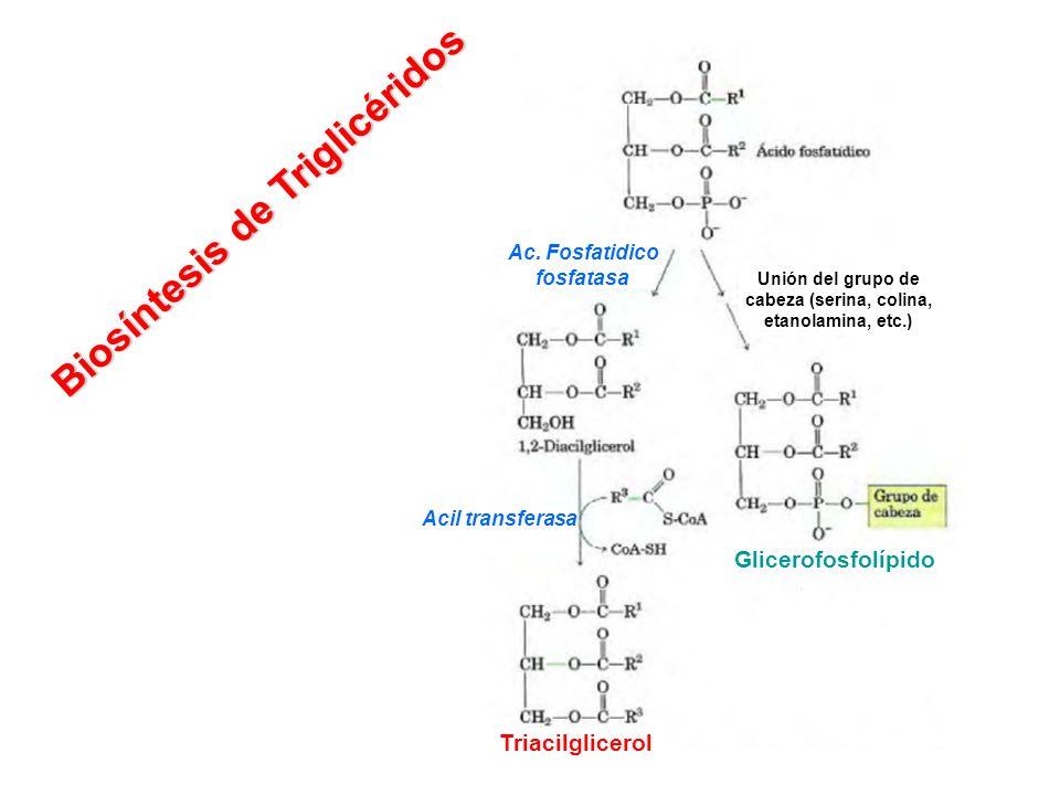 Ac. Fosfatidico fosfatasa Acil transferasa Unión del grupo de cabeza (serina, colina, etanolamina, etc.) Triacilglicerol Glicerofosfolípido Biosíntesi
