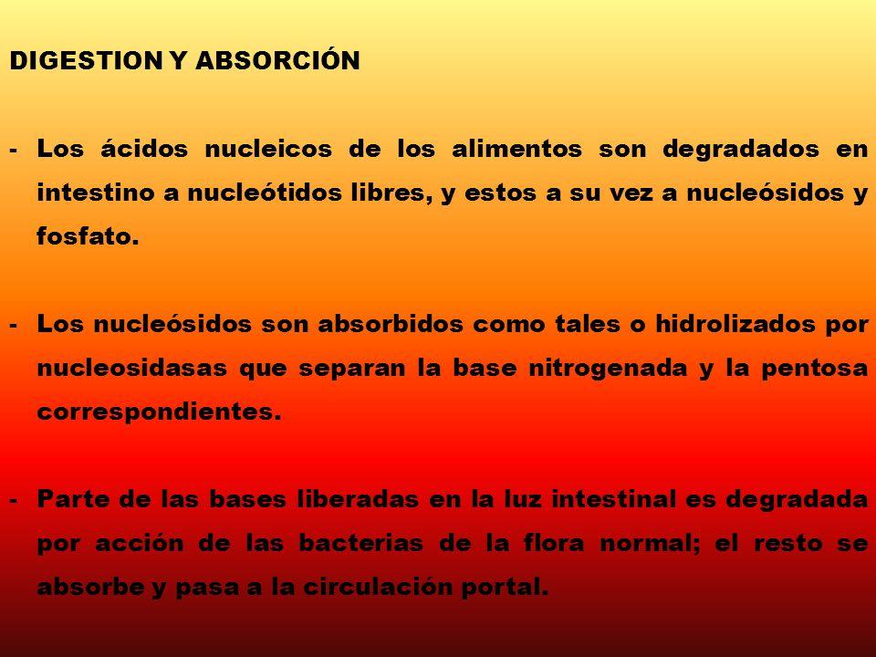 DIGESTION Y ABSORCIÓN -Los ácidos nucleicos de los alimentos son degradados en intestino a nucleótidos libres, y estos a su vez a nucleósidos y fosfat