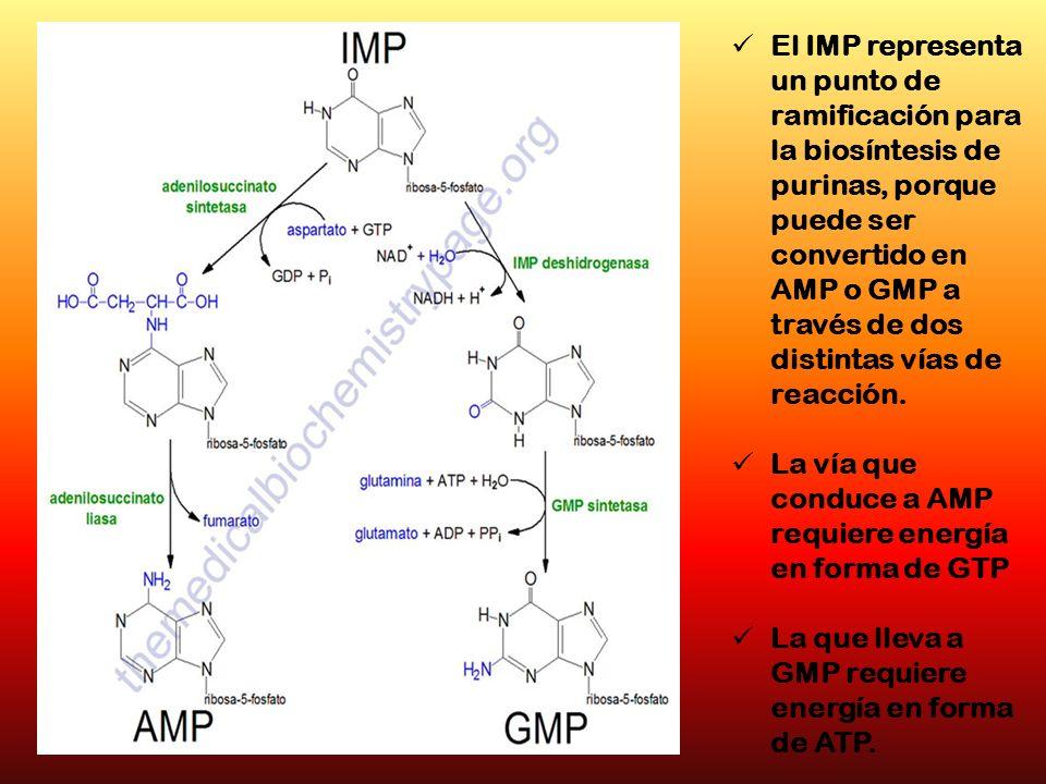 El IMP representa un punto de ramificación para la biosíntesis de purinas, porque puede ser convertido en AMP o GMP a través de dos distintas vías de