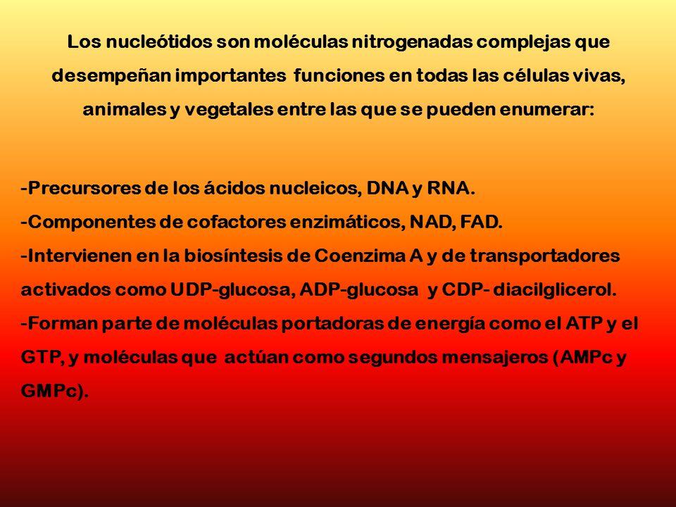 Los nucleótidos son moléculas nitrogenadas complejas que desempeñan importantes funciones en todas las células vivas, animales y vegetales entre las q