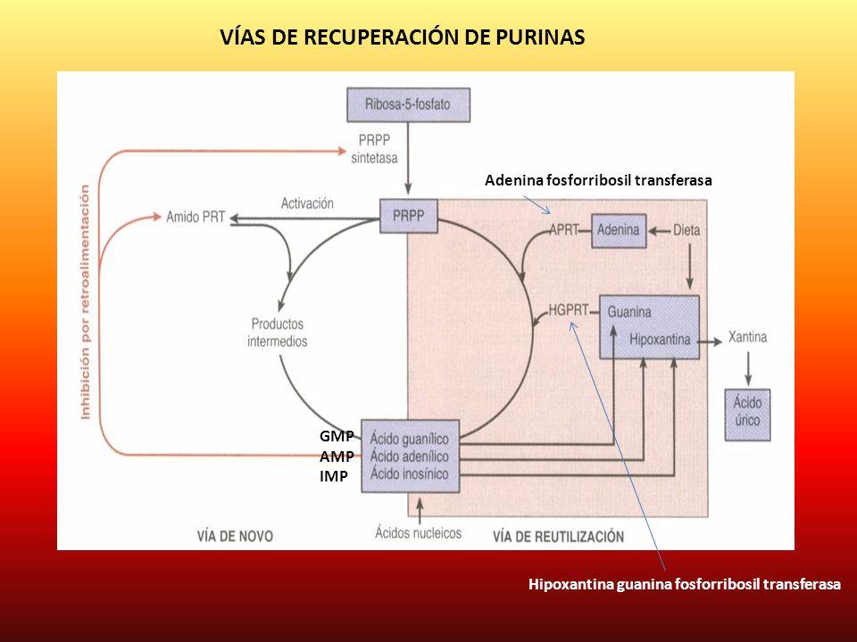 GMP AMP IMP Adenina fosforribosil transferasa Hipoxantina guanina fosforribosil transferasa VÍAS DE RECUPERACIÓN DE PURINAS