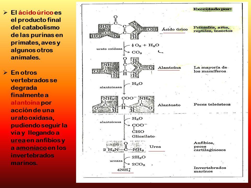 El ácido úrico es el producto final del catabolismo de las purinas en primates, aves y algunos otros animales. En otros vertebrados se degrada finalme