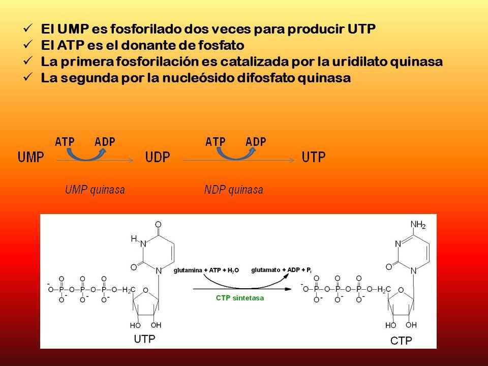 El UMP es fosforilado dos veces para producir UTP El ATP es el donante de fosfato La primera fosforilación es catalizada por la uridilato quinasa La s