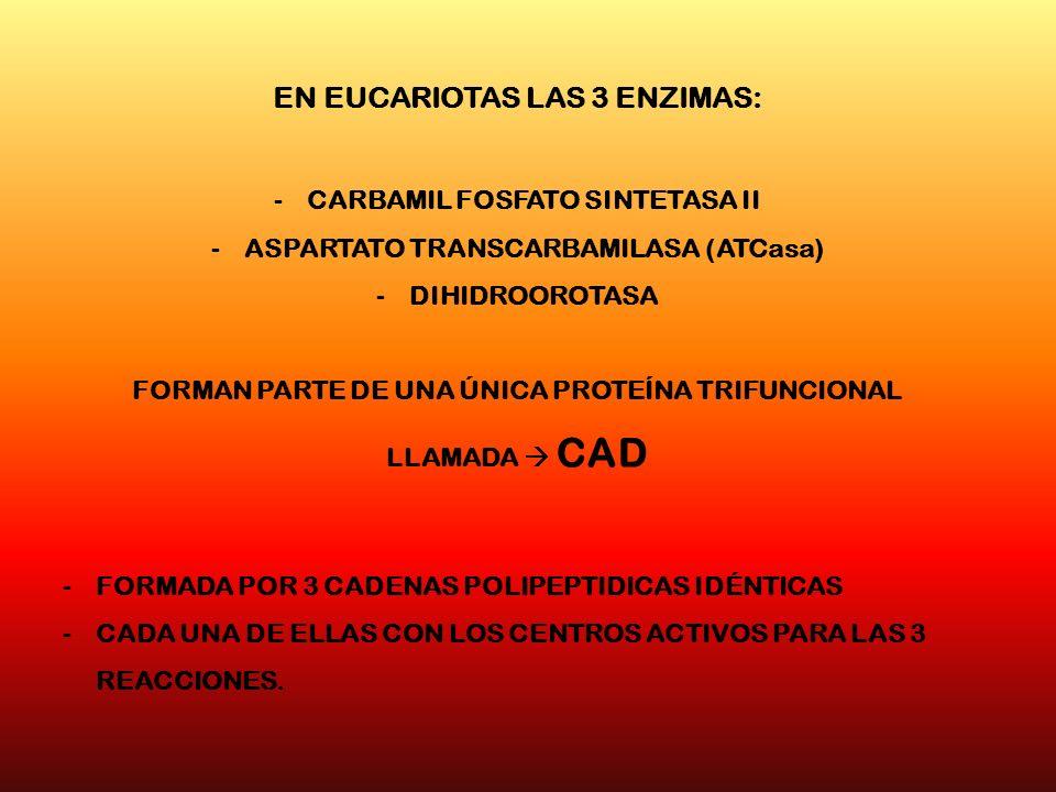 EN EUCARIOTAS LAS 3 ENZIMAS: -CARBAMIL FOSFATO SINTETASA II -ASPARTATO TRANSCARBAMILASA (ATCasa) -DIHIDROOROTASA FORMAN PARTE DE UNA ÚNICA PROTEÍNA TR