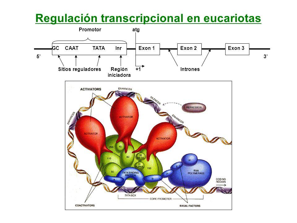 Regulación transcripcional en eucariotas GC CAAT TATA InrExon 1Exon 2Exon 3 Promotoratg +1IntronesSitios reguladoresRegión iniciadora 53