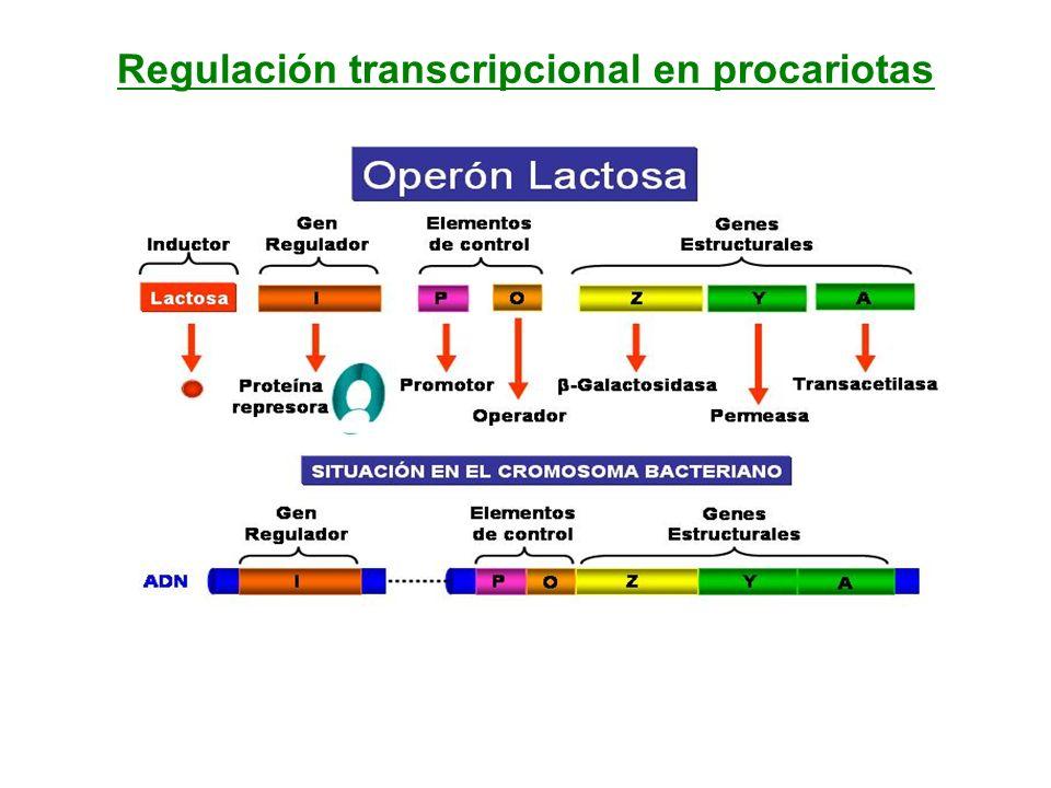 Regulación transcripcional en procariotas