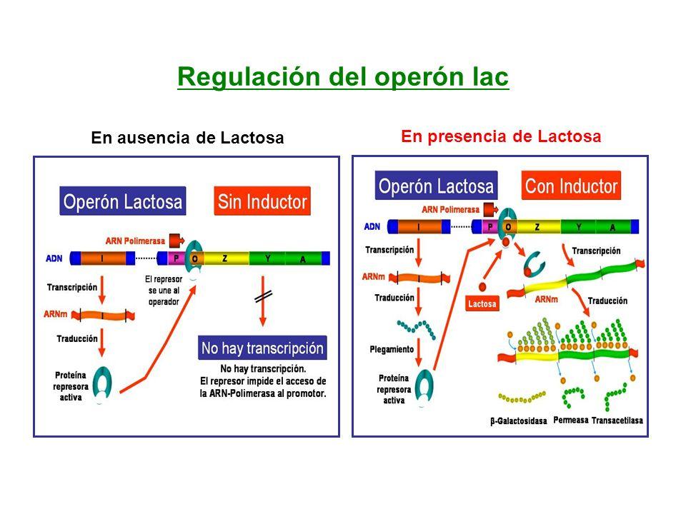 Regulación del operón lac En ausencia de Lactosa En presencia de Lactosa