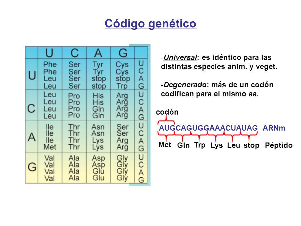 Código genético AUGCAGUGGAAACUAUAG ARNm codón Met -Universal: es idéntico para las distintas especies anim. y veget. -Degenerado: más de un codón codi
