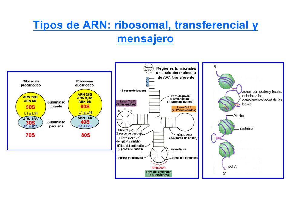 Tipos de ARN: ribosomal, transferencial y mensajero