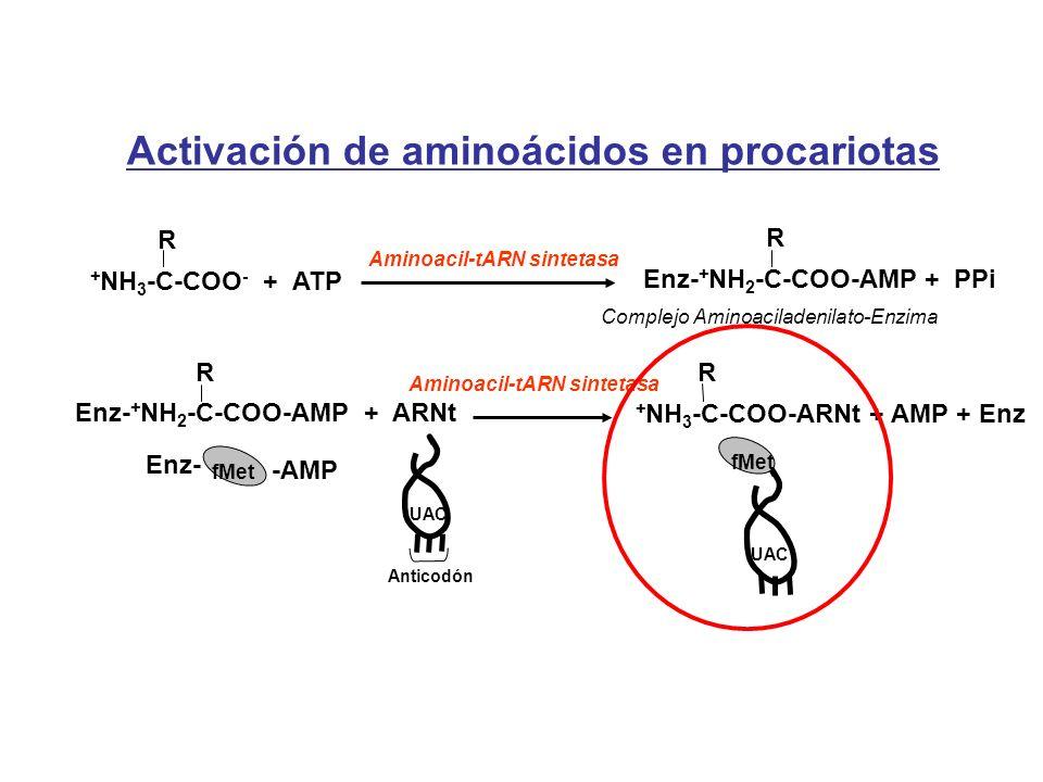 Activación de aminoácidos en procariotas Aminoacil-tARN sintetasa + NH 3 -C-COO - + ATP R Enz- + NH 2 -C-COO-AMP + PPi R Complejo Aminoaciladenilato-E