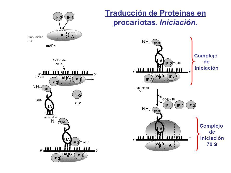 Traducción de Proteínas en procariotas. Iniciación. mARN P A Subunidad 30S IF-3IF-1 P A IF-3 IF-1 Codón de inicio 35 mARN AUG tARN Anticodón fMet UA C