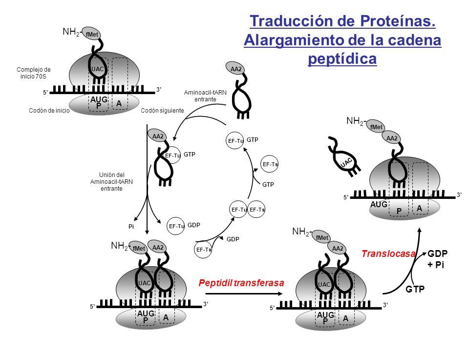 Traducción de Proteínas. Alargamiento de la cadena peptídica AA2 Aminoacil-tARN entrante GTP EF-Tu GTP EF-Ts GDP EF-TuEF-Ts Unión del Aminoacil-tARN e