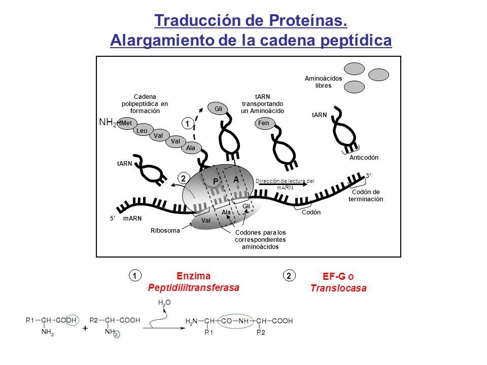 Traducción de Proteínas. Alargamiento de la cadena peptídica Ala Val Leu fMet Cadena polipeptídica en formación tARN Gli Aminoácidos libres tARN Antic