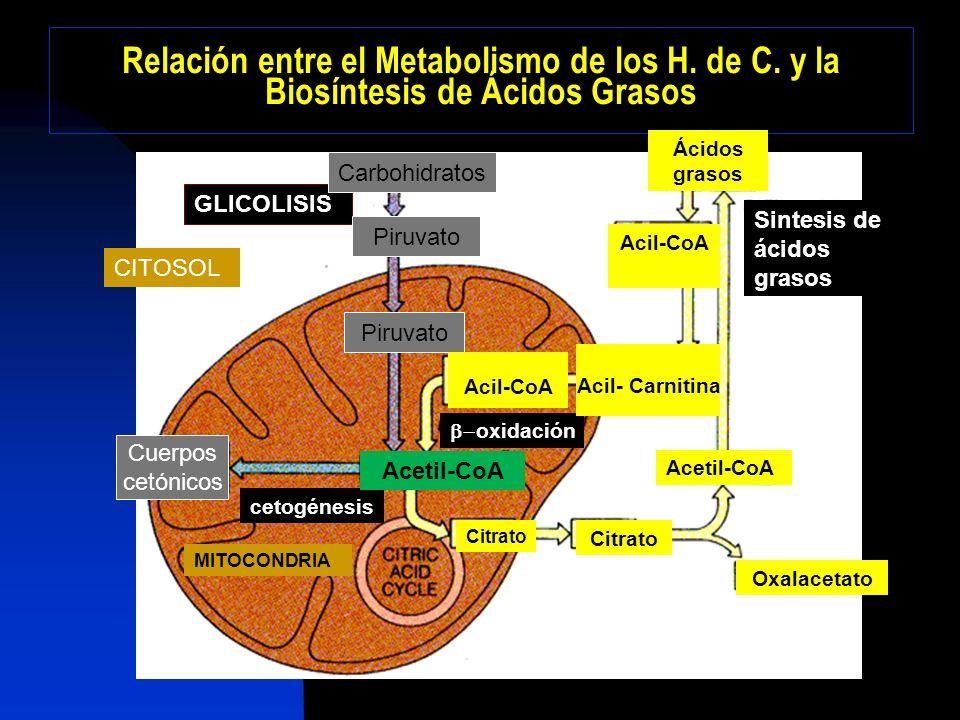 Procedencia de Acetil CoA, Enzimas y Poder reductor CITRATO CITRATO LIASA Acetil-CoA CARBOXILASA ACIDO GRASO SINTASA NADPH Vía de las Pentosas Enzima málica Complejo multienzimático ACETIL-CoAMALONIL-CoA ATP ACIL-CoA CITRATO ACETIL-CoA Oxalacetato + ATP ADP + Pi Síntesis de malonil-CoA