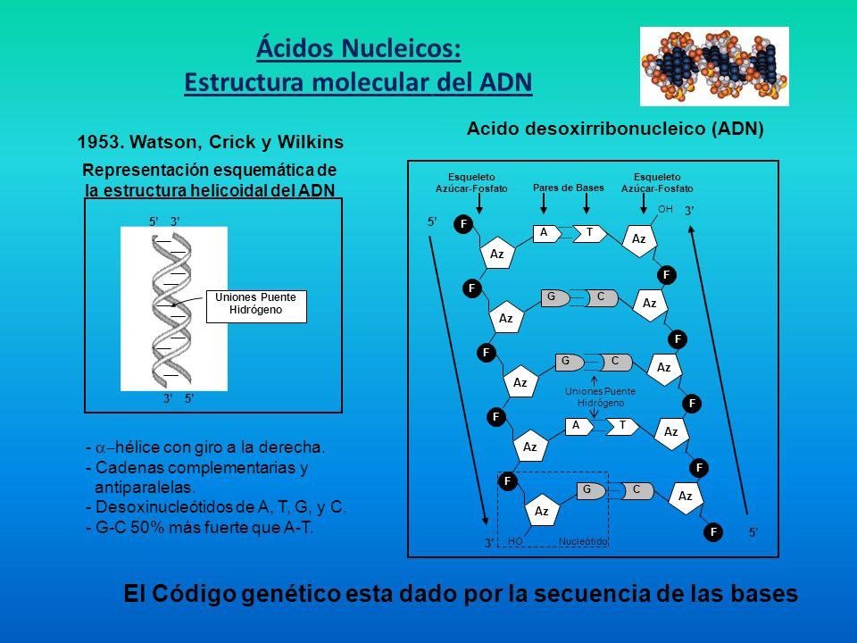 Ácidos Nucleicos: Estructura molecular del ADN Acido desoxirribonucleico (ADN) Uniones Puente Hidrógeno Esqueleto Azúcar-Fosfato Esqueleto Azúcar-Fosf