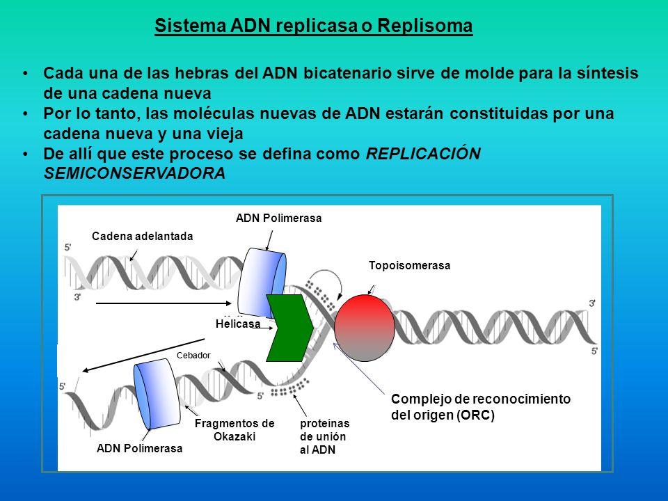 Sistema ADN replicasa o Replisoma proteínas de unión al ADN Cadena adelantada ADN Polimerasa Topoisomerasa Helicasa Cebador ADN Polimerasa Fragmentos