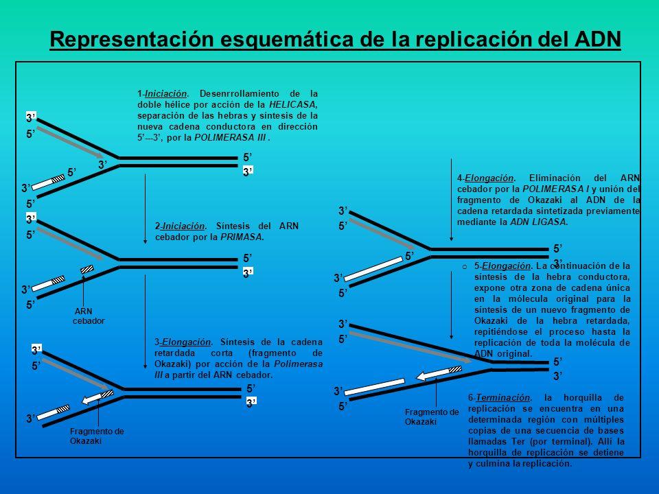 Representación esquemática de la replicación del ADN 1-Iniciación. Desenrrollamiento de la doble hélice por acción de la HELICASA, separación de las h