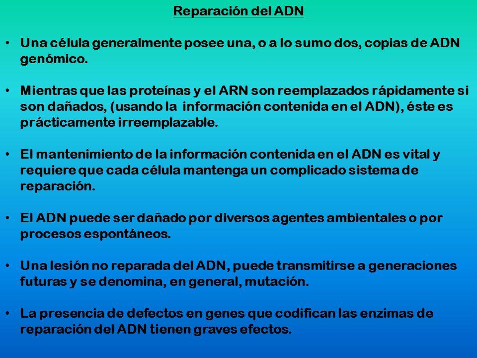 Reparación del ADN Una célula generalmente posee una, o a lo sumo dos, copias de ADN genómico. Mientras que las proteínas y el ARN son reemplazados rá