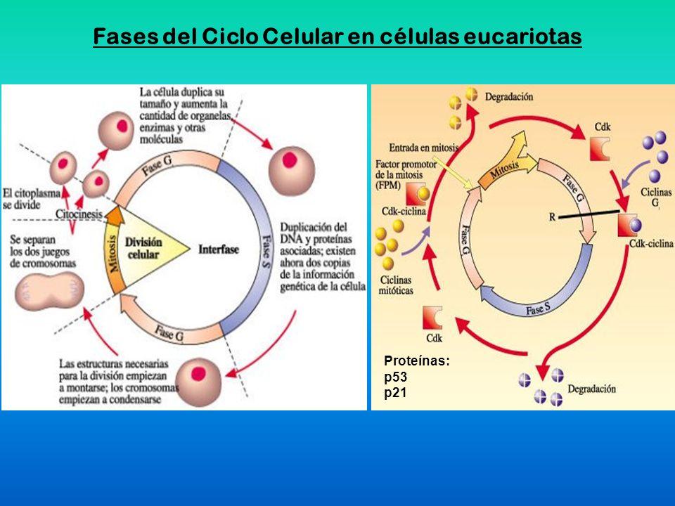Fases del Ciclo Celular en células eucariotas Proteínas: p53 p21