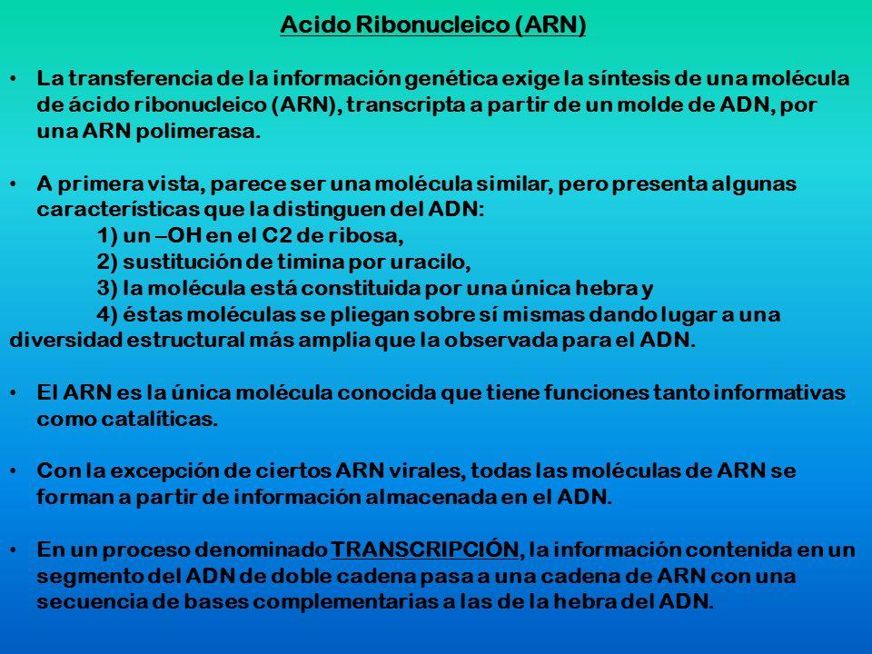 Acido Ribonucleico (ARN) La transferencia de la información genética exige la síntesis de una molécula de ácido ribonucleico (ARN), transcripta a part