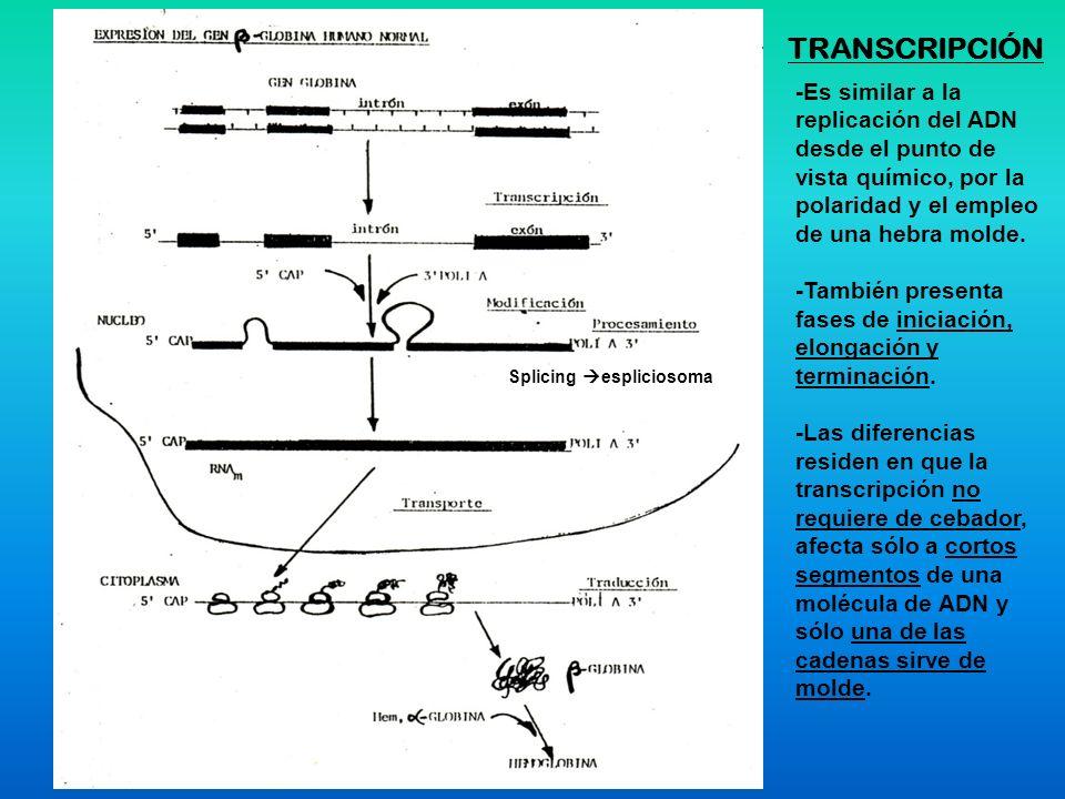 TRANSCRIPCIÓN -Es similar a la replicación del ADN desde el punto de vista químico, por la polaridad y el empleo de una hebra molde. -También presenta