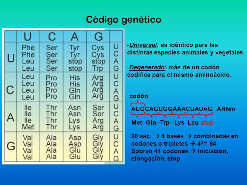 Código genético AUGCAGUGGAAACUAUAGARNm codón Met- Gln–Trp-- -Universal: es idéntico para las distintas especies animales y vegetales -Degenerado: más