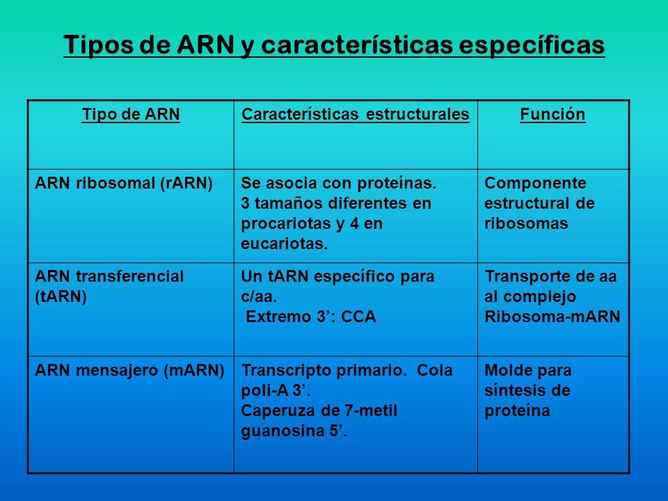 Tipos de ARN y características específicas Tipo de ARNCaracterísticas estructuralesFunción ARN ribosomal (rARN)Se asocia con proteínas. 3 tamaños dife