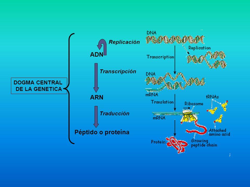 Proceso de Replicación del ADN ADN de doble cadena original Producto intermediario en la replicación semiconservativa Dos moléculas de ADN de doble cadena hijas CARACTERISTICAS GENERALES DE LA REPLICACION - Semiconservadora.