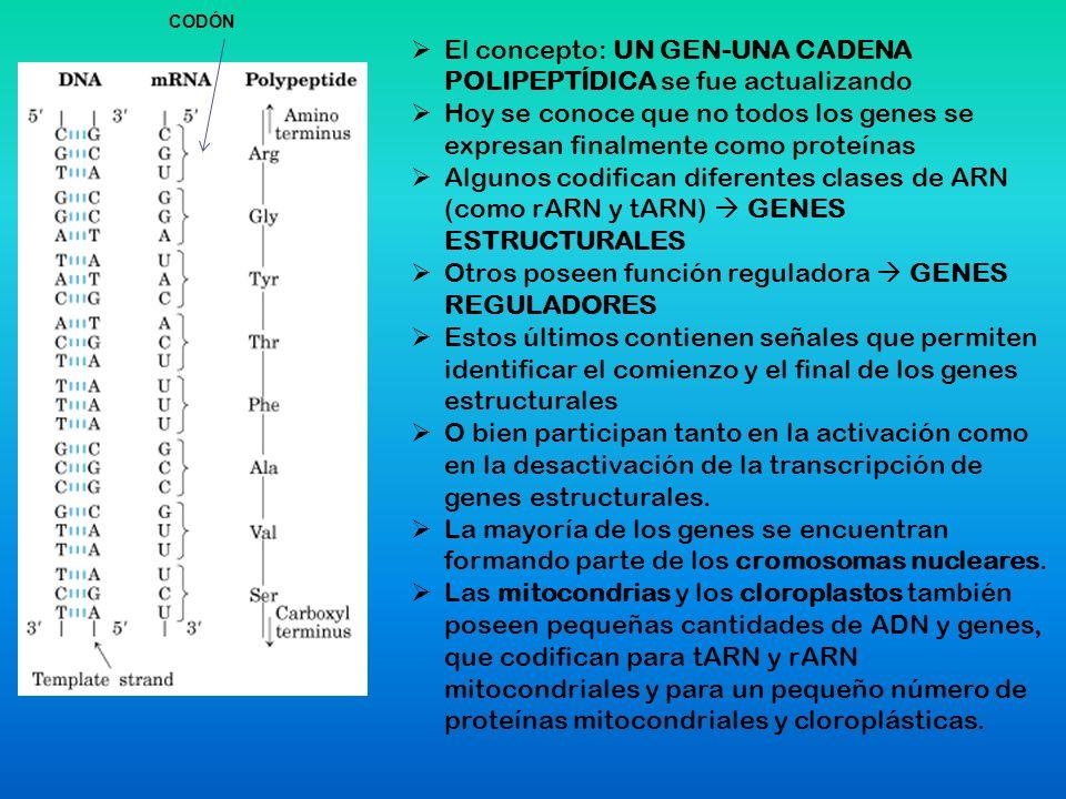Síntesis de Proteínas Traducción – Tres partes Iniciación – Unidad menor del ribosoma – tRNA inicial – Codón Inicial Extensión – Incorporan los amino ácidos.
