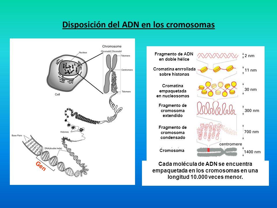 TRADUCCIÓN Síntesis de Proteínas Componentes mRNA tRNA Ribosomas Chaperonas Enzimas Factores de regulación Hidrólisis de ATP o GTP