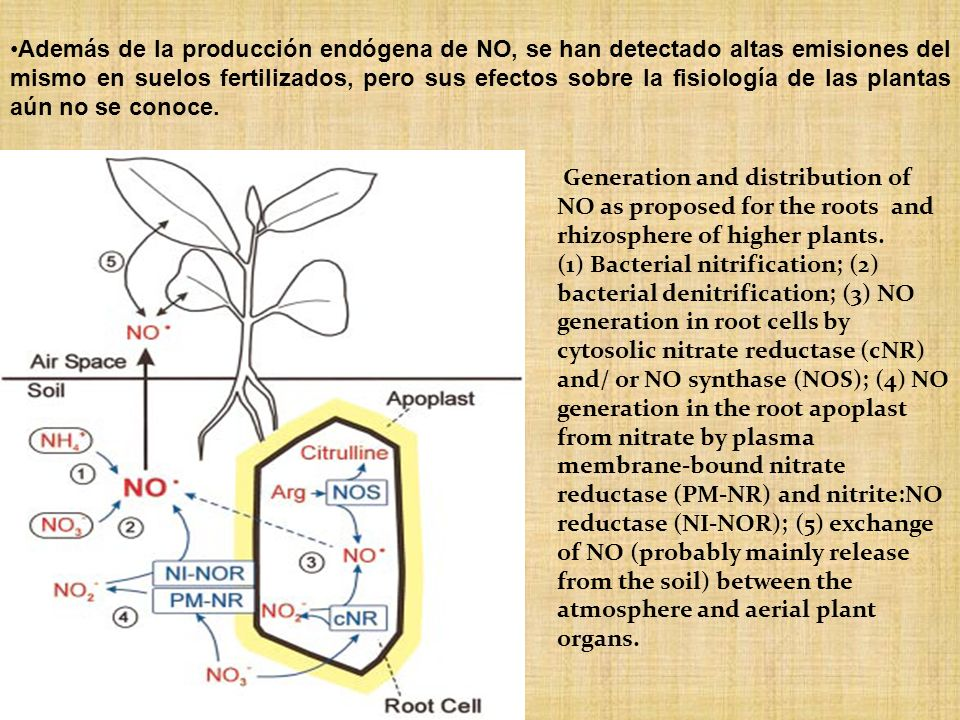 Generation and distribution of NO as proposed for the roots and rhizosphere of higher plants. (1) Bacterial nitrification; (2) bacterial denitrificati